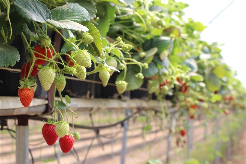 Topraksız Tarımda Çilek Yetiştiriciliği | Gıda, Tarım ve Hayvancılık Bilgi  Platformu